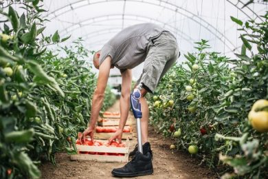 US Farmer with a prosthetic leg picking tomatoes