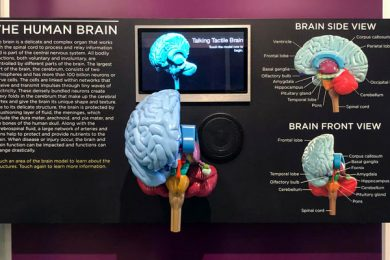 Newly-installed tactile brain model located in the Anatomy and Pathology Gallery at the National Museum of Health and Medicine in Silver Spring, Maryland. The interactive model was produced by TouchGraphics Inc.